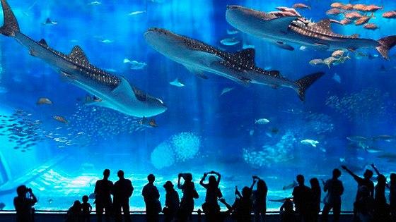 Okinawa Churaumi Aquarium. Okinawa Churaumi Aquarium 5