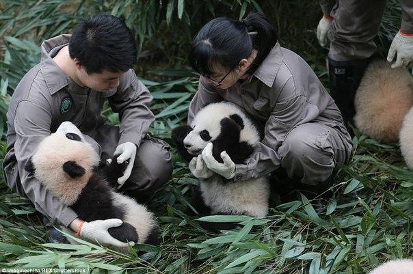 У панд в Китае настоящий бэби-бум!. У панд в Китае настоящий 1