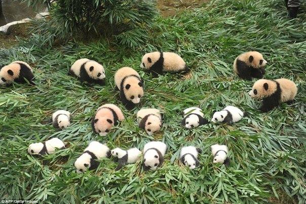 У панд в Китае настоящий бэби-бум!. У панд в Китае настоящий 2