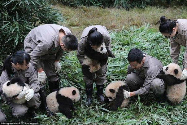 У панд в Китае настоящий бэби-бум!. У панд в Китае настоящий 3