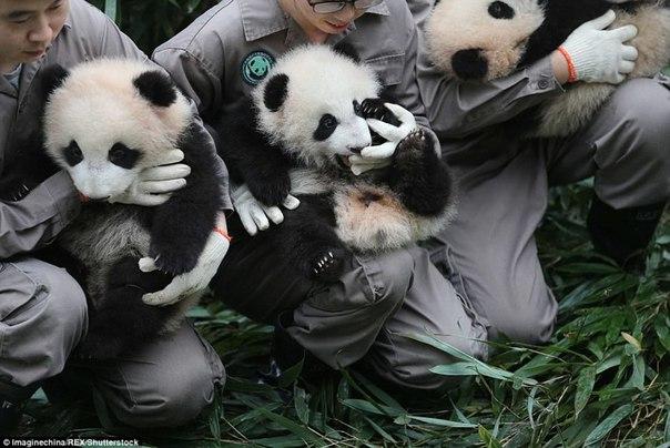 У панд в Китае настоящий бэби-бум!. У панд в Китае настоящий 4