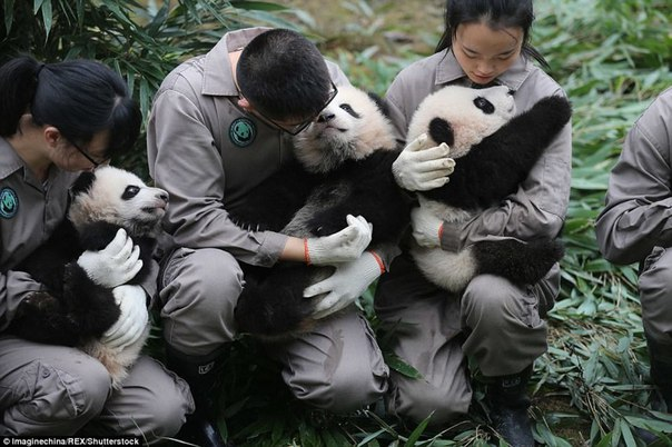У панд в Китае настоящий бэби-бум!. У панд в Китае настоящий 5