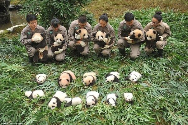 У панд в Китае настоящий бэби-бум!. У панд в Китае настоящий 6