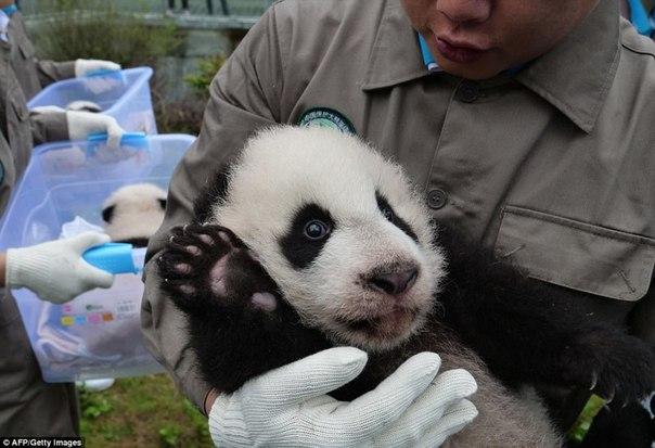У панд в Китае настоящий бэби-бум!. У панд в Китае настоящий 7
