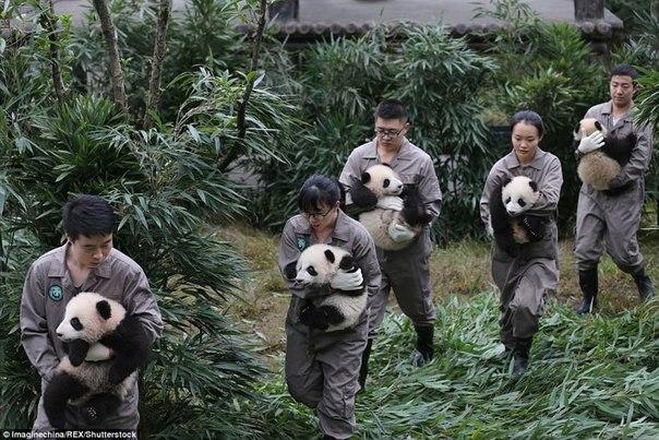 У панд в Китае настоящий бэби-бум!. У панд в Китае настоящий 8