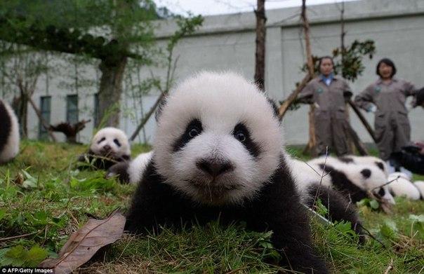 У панд в Китае настоящий бэби-бум!. У панд в Китае настоящий 9