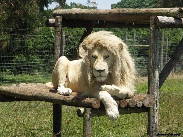 Белый лев. Среда обитания и образ жизни