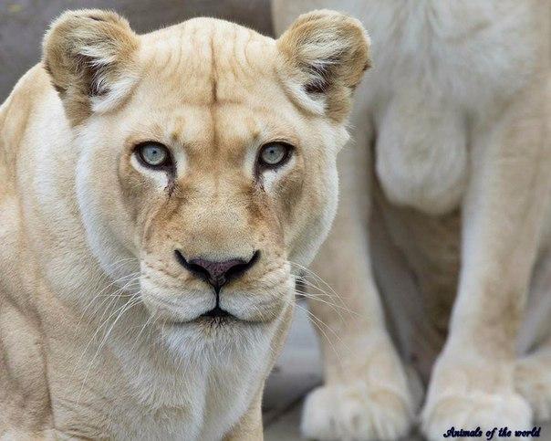 Белый лев. Среда обитания и образ жизни. Белый лев. Среда обитания и 1