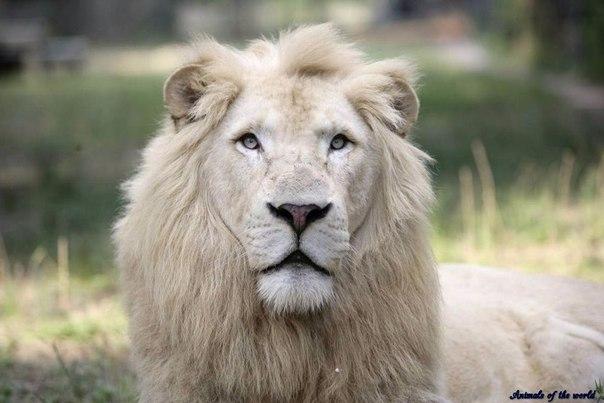 Белый лев. Среда обитания и образ жизни. Белый лев. Среда обитания и 2