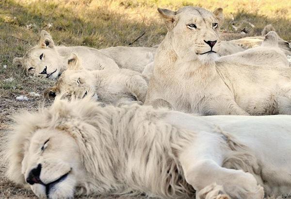 Белый лев. Среда обитания и образ жизни. 17153.jpeg