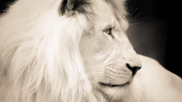 Белый лев. Среда обитания и образ жизни. 17155.jpeg