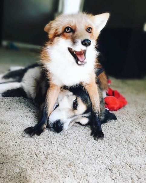 Пёс и лиса: умилительная парочка. Пёс и лиса: умилительная 2