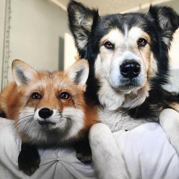 Пёс и лиса: умилительная парочка. Пёс и лиса: умилительная 3