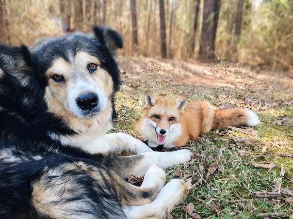 Пёс и лиса: умилительная парочка. Пёс и лиса: умилительная 6