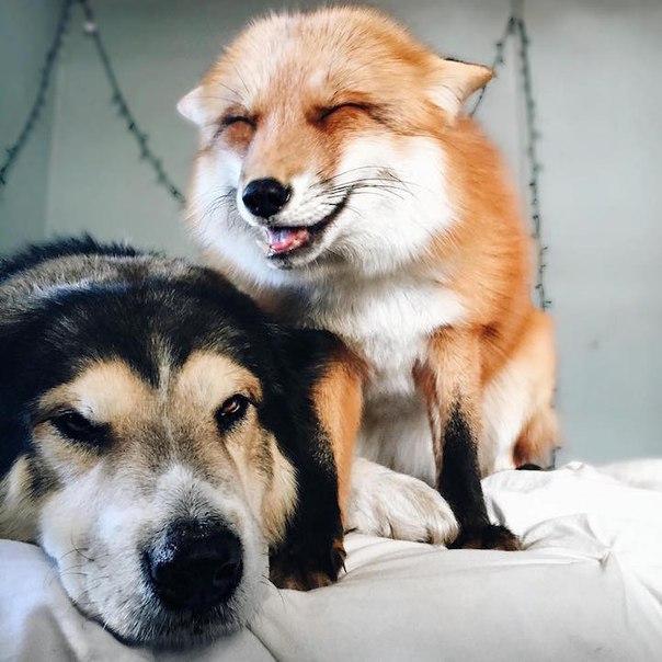 Пёс и лиса: умилительная парочка. Пёс и лиса: умилительная 7