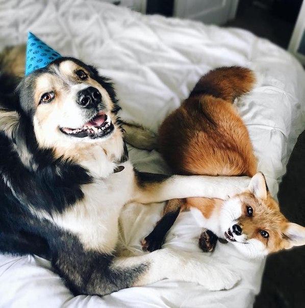 Пёс и лиса: умилительная парочка. Пёс и лиса: умилительная 9