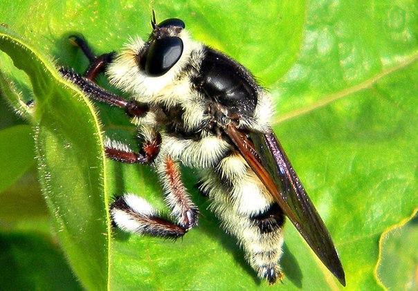 Самые опасные для человека насекомые. Самые опасные для человека 2