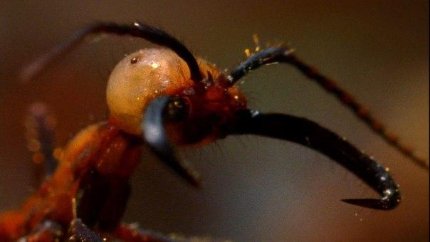 Самые опасные для человека насекомые. Самые опасные для человека 3