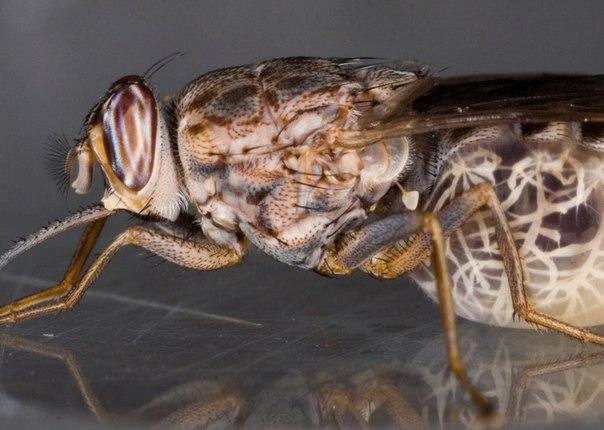Самые опасные для человека насекомые. Самые опасные для человека 5