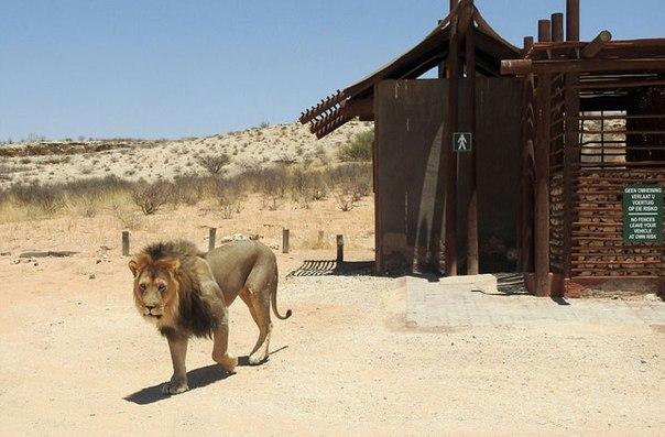 В Африке король зверей не пустил туристов в туалет. В Африке король зверей не 1