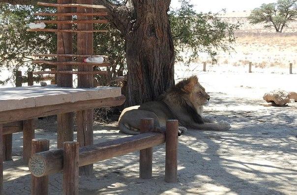 В Африке король зверей не пустил туристов в туалет. В Африке король зверей не 2