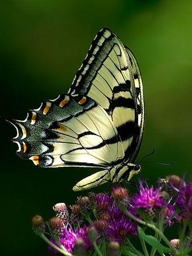 Легенды и интересное о бабочках. Легенды и интересное о 2