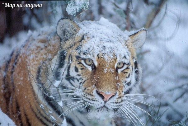 Амурский тигр (Уссурийский или Дальневосточный). Амурский тигр (Уссурийский или 1