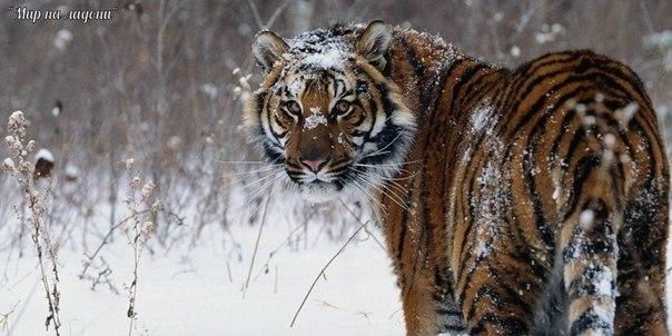 Амурский тигр (Уссурийский или Дальневосточный). Амурский тигр (Уссурийский или 2