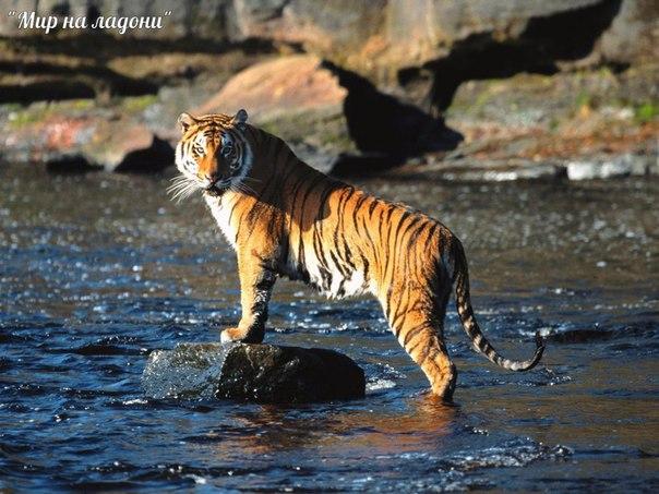 Амурский тигр (Уссурийский или Дальневосточный). Амурский тигр (Уссурийский или 3