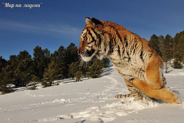 Амурский тигр (Уссурийский или Дальневосточный). Амурский тигр (Уссурийский или 4