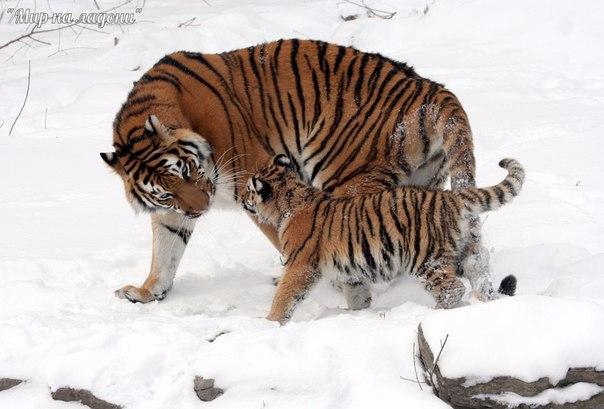 Амурский тигр (Уссурийский или Дальневосточный). Амурский тигр (Уссурийский или 5