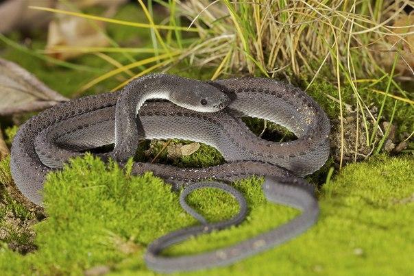 Яванский ксенодермил - одна из самых редких змей на земле