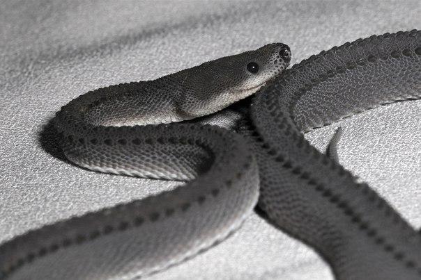 Яванский ксенодермил - одна из самых редких змей на земле. Яванский ксенодермил - одна из 1
