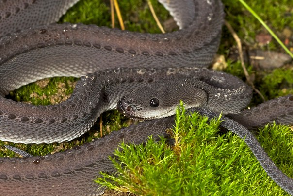 Яванский ксенодермил - одна из самых редких змей на земле. Яванский ксенодермил - одна из 2