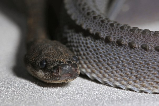 Яванский ксенодермил - одна из самых редких змей на земле. Яванский ксенодермил - одна из 3