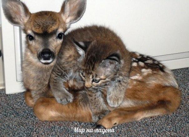Дружба, которой не может быть: самые маловероятные приятели в мире фауны. Дружба, которой не может быть 2