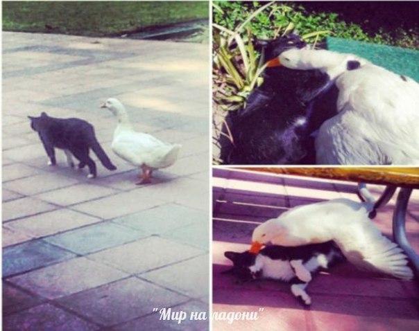 Дружба, которой не может быть: самые маловероятные приятели в мире фауны. Дружба, которой не может быть 3