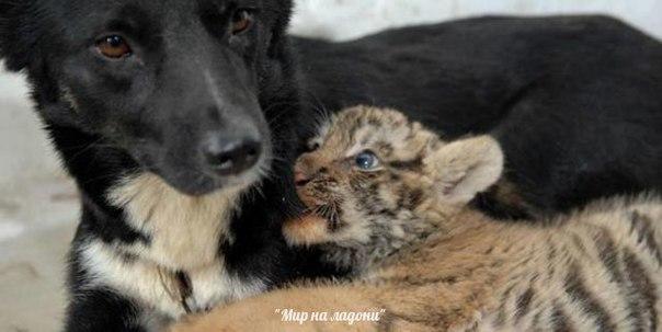 Дружба, которой не может быть: самые маловероятные приятели в мире фауны. Дружба, которой не может быть 4