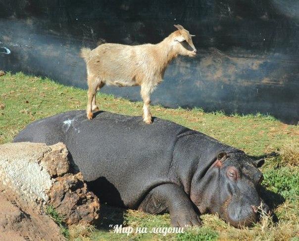 Дружба, которой не может быть: самые маловероятные приятели в мире фауны. Дружба, которой не может быть 6
