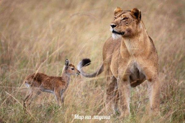 Дружба, которой не может быть: самые маловероятные приятели в мире фауны. Дружба, которой не может быть 9