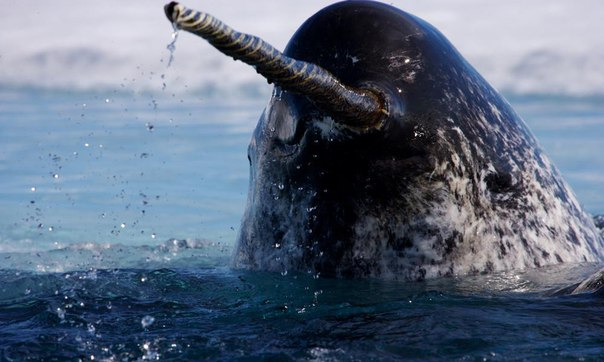 Нарвалы – морские единороги. Нарвалы – морские единороги 2