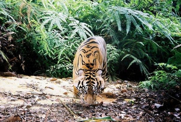 Десять интересных фактов о тиграх