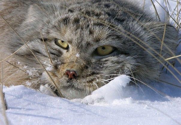 Манул – животное размером с домашнюю кошку