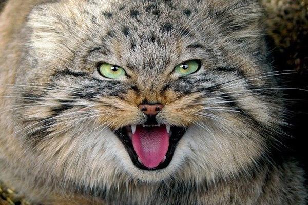 Манул – животное размером с домашнюю кошку. 15621.jpeg