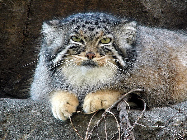 Манул – животное размером с домашнюю кошку. 15622.jpeg