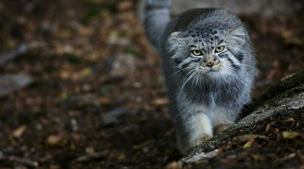 Манул – животное размером с домашнюю кошку. 15623.jpeg