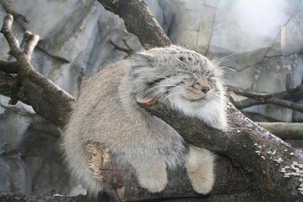 Манул – животное размером с домашнюю кошку. 15624.jpeg