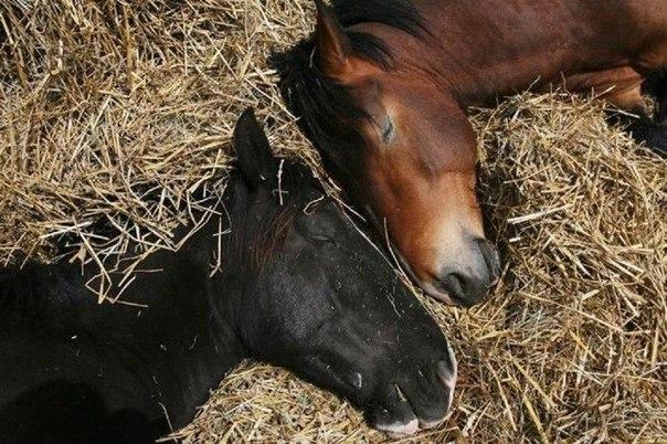 Как спят лошади. Как спят лошади 2