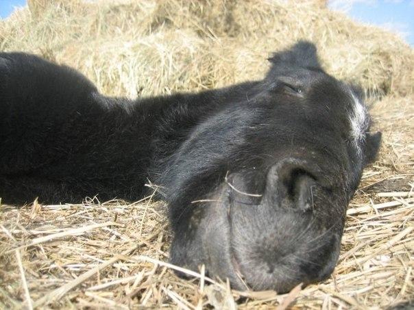 Как спят лошади. Как спят лошади 3