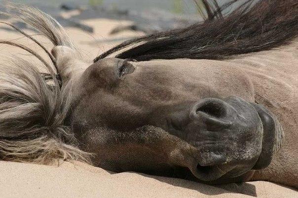 Как спят лошади. Как спят лошади 4
